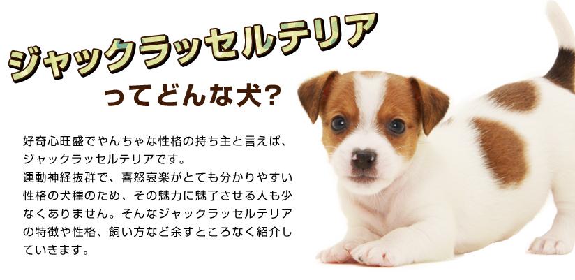 ジャックラッセルテリアってどんな犬?