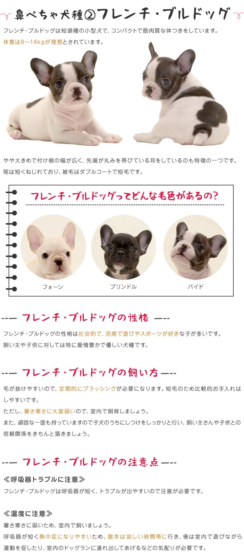 鼻ぺちゃ犬種②フレンチ・ブルドッグ