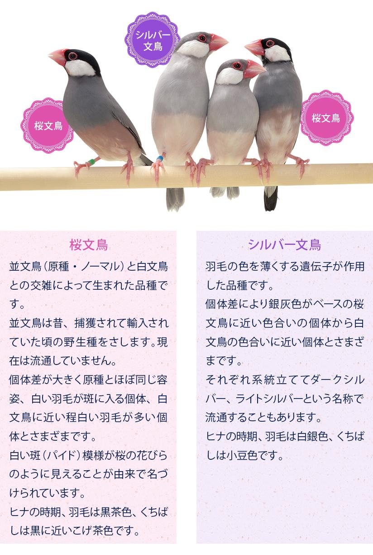 文鳥の種類:桜文鳥、シルバー文鳥