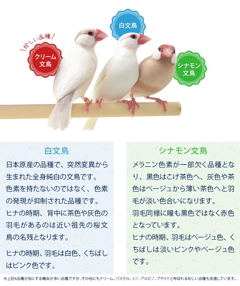 文鳥の種類:白文鳥、シナモン文鳥、クリーム文鳥