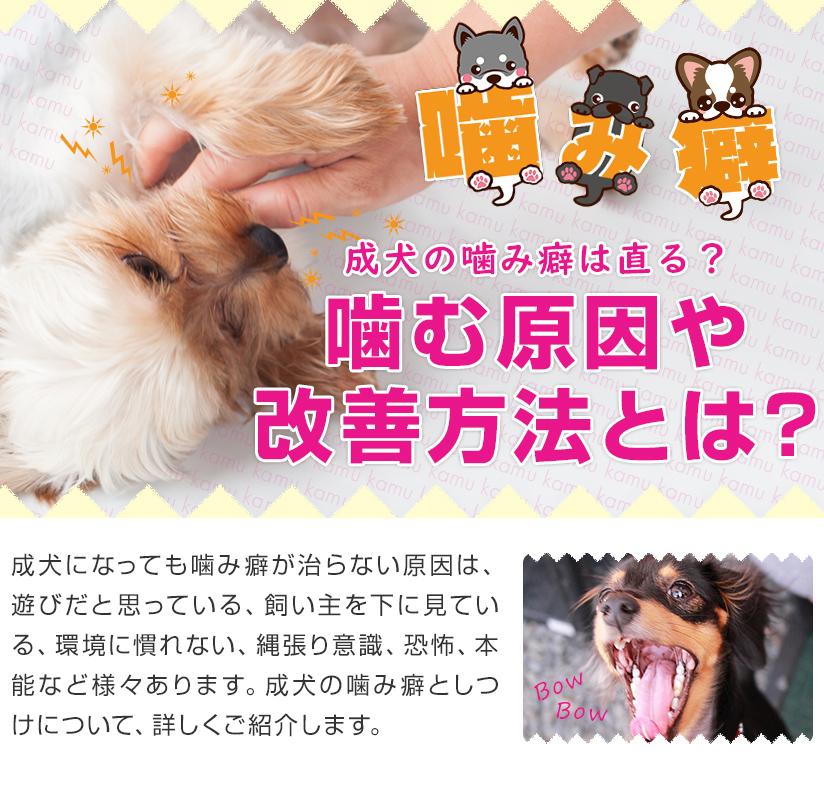 成犬の噛み癖は直る?噛む原因や改善方法とは?