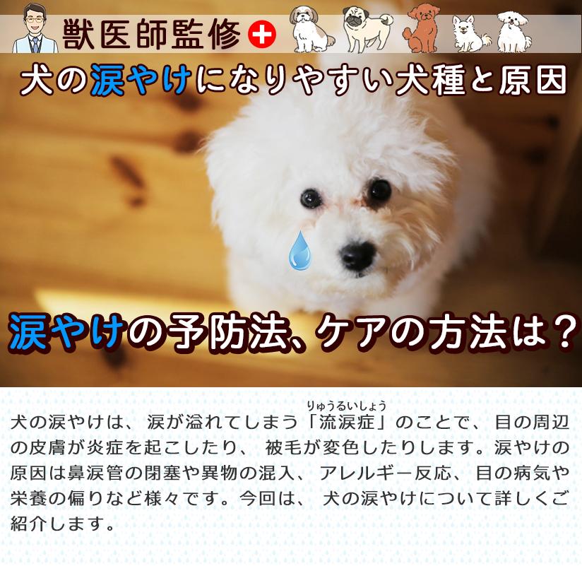 【獣医師監修】犬の涙やけになりやすい犬種と原因。涙やけの予防法、ケアの方法は?